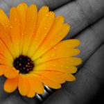 Photo: hand in black and white holding a vibrant flower